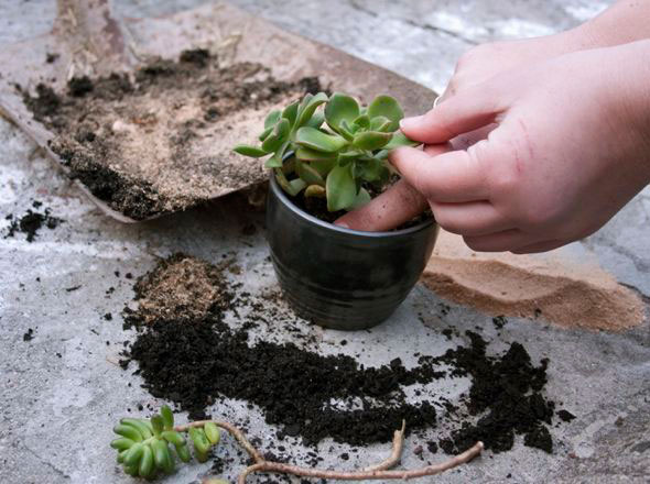 cultivar-suculentas